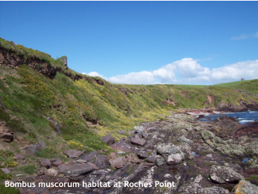 Bombus muscorum habitat at Roches Point